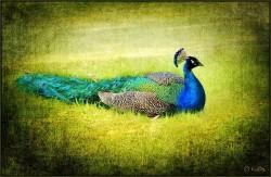 Luisa Dasilva: Peacock